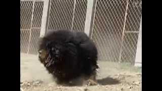 Repeat youtube video Tibetan Mastiff Strength