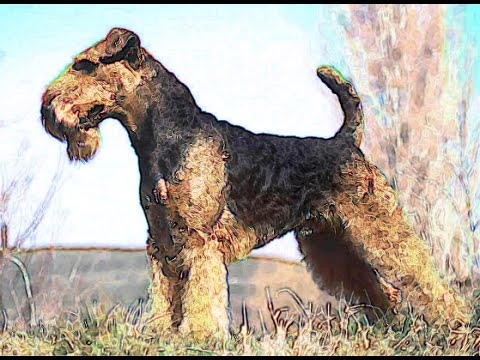 AIREDALE TERRIER Brief History of Dog Lovers Dogs breed Airedale Terrier Origins Background facts