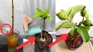 Como crecer arbol de Guayaba desde esqueje de forma efectiva