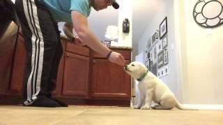8 Week Old White Lab Puppy Training