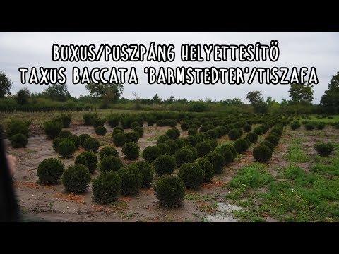 Buxus/Puszpáng helyettesítő Taxus baccata 'Barmstedter'/Tiszafa