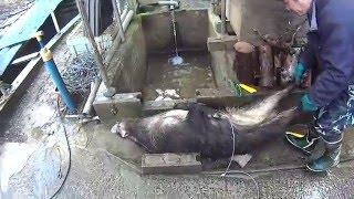 27年 猪の罠猟 腹を開ける動画です。(注意)