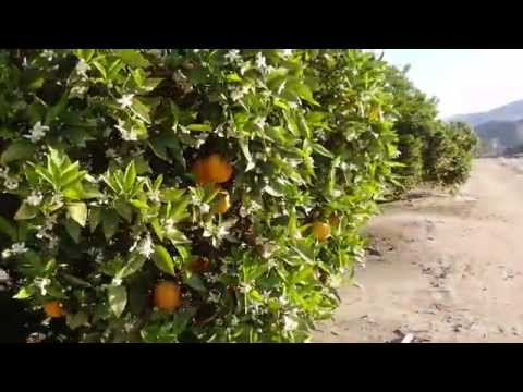 Как растут апельсины в Калифорнии /California Oranges