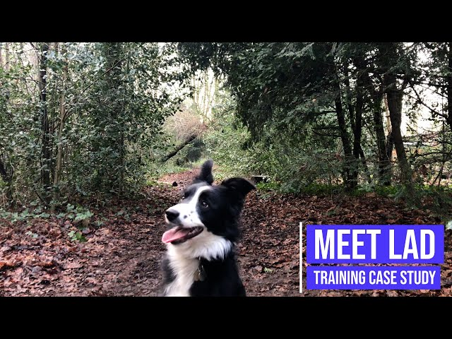 Correcting a Border Collie's reactivity issues