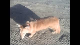 Corgi On The Gulf Of Mexico Truax Band Port Aransas Coyote Kiera  Dog Coy Kira