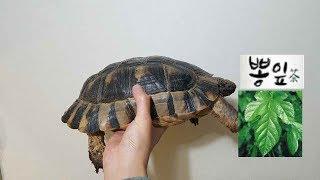 뽕잎을 맛있게 먹는 육지거북이(Tortoise mulb…