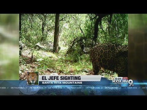 WATCH: Video shows only known US jaguar roaming Arizona mountains