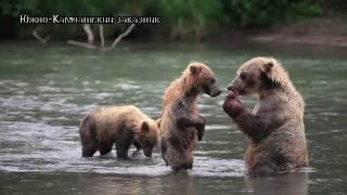 Как медведи делают это?// Бурый медведь//Дикая природа России.(Как медведи делают это?// Бурый медведь//Дикая природа России. Небольшая зарисовка о больших медведях....Canon..., 2011-02-26T09:21:06.000Z)