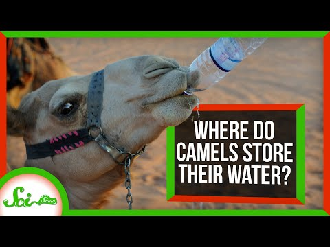 Where Do Camels Store Their Water?