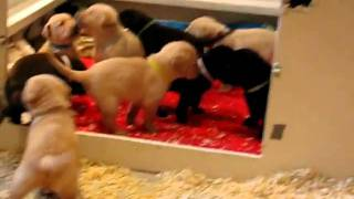 Lab Puppies Chocolate Yellow Black Labrador Retrievers 3 Weeks 6 Days Old