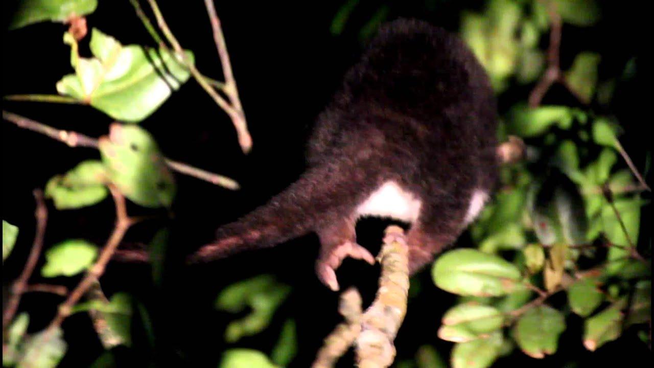Australian Possum Rear