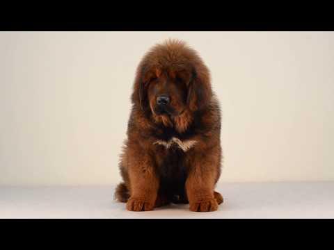Tibetan Mastiff Puppies Floro Asantiko