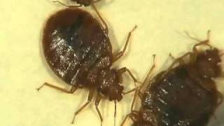 Bed Bugs Moving B-Roll