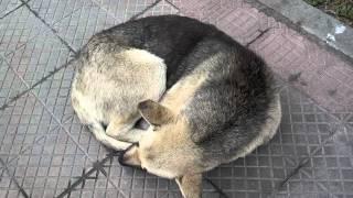 Sleeping curled up dog.