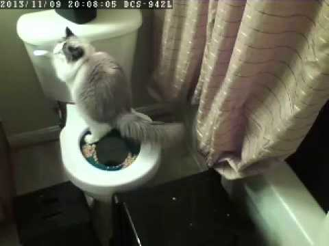 Potty Train Ragdoll Cat