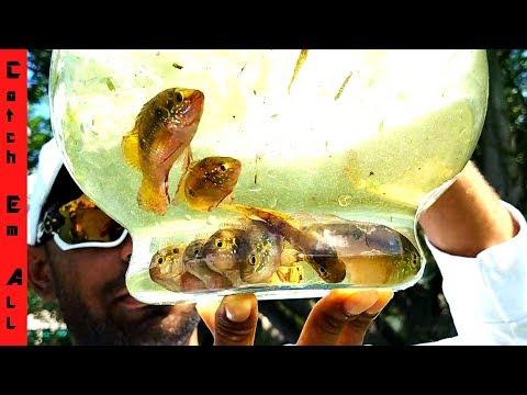 RARE RED JEWEL FISH Caught in NET HARVEST!