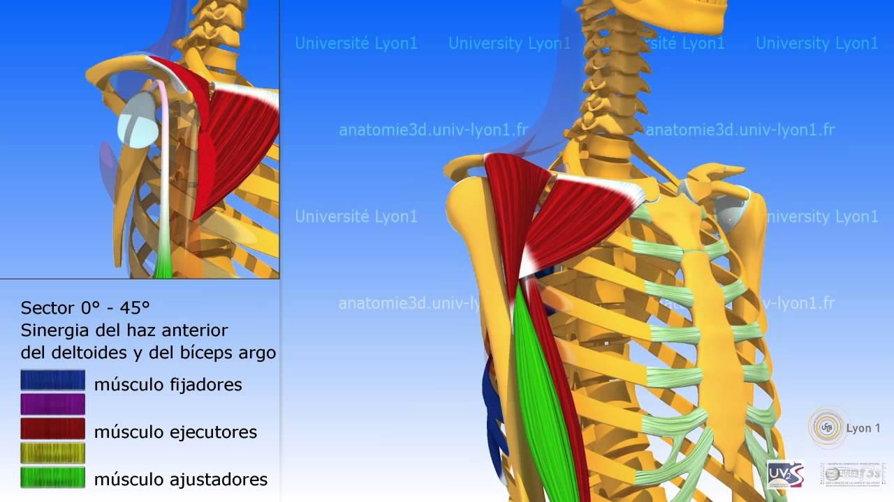 La elevación anterior del brazo y las sinergias del manguito rotador ...