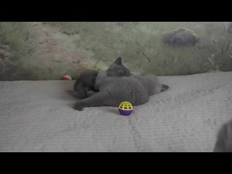 Британские котята (Litter-B2) - 9 недель