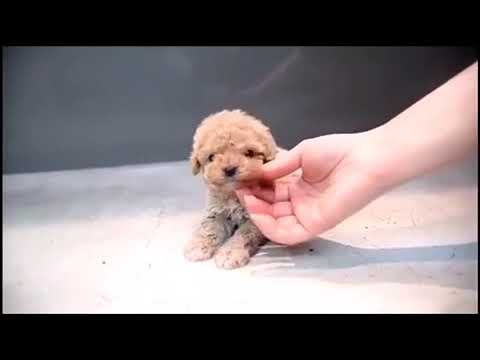 Tiny Teacup Poodle For Sale 7700usd