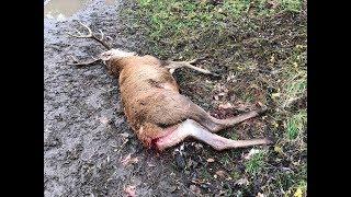 Myśliwy miał pozwolić, by psy rozszarpały żywego jelenia  .