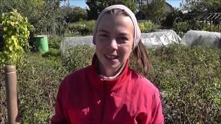 Картофель без копки. Выращивание картофеля без окучивания и прополки под соломой.(В этом видео я рассказываю о своём эксперименте, который я начала весной, посадив картофель на грядки без..., 2013-09-06T01:05:00.000Z)