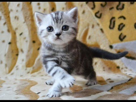 Шотландский котик окрас черный мрамор на серебре