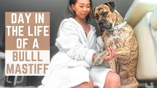 Day in the Life of a Bullmastiff