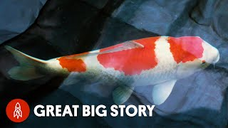 Japans King of Carp Breeds Million Dollar Koi Fish