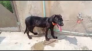 Pointer Female puppy for sale age 3 month location Faisalabad +923015014241