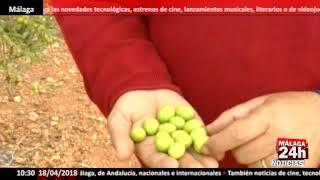 Detectado un caso aislado de Xylella fastidiosa en plantas ornamentales en El Ejido (Almería)