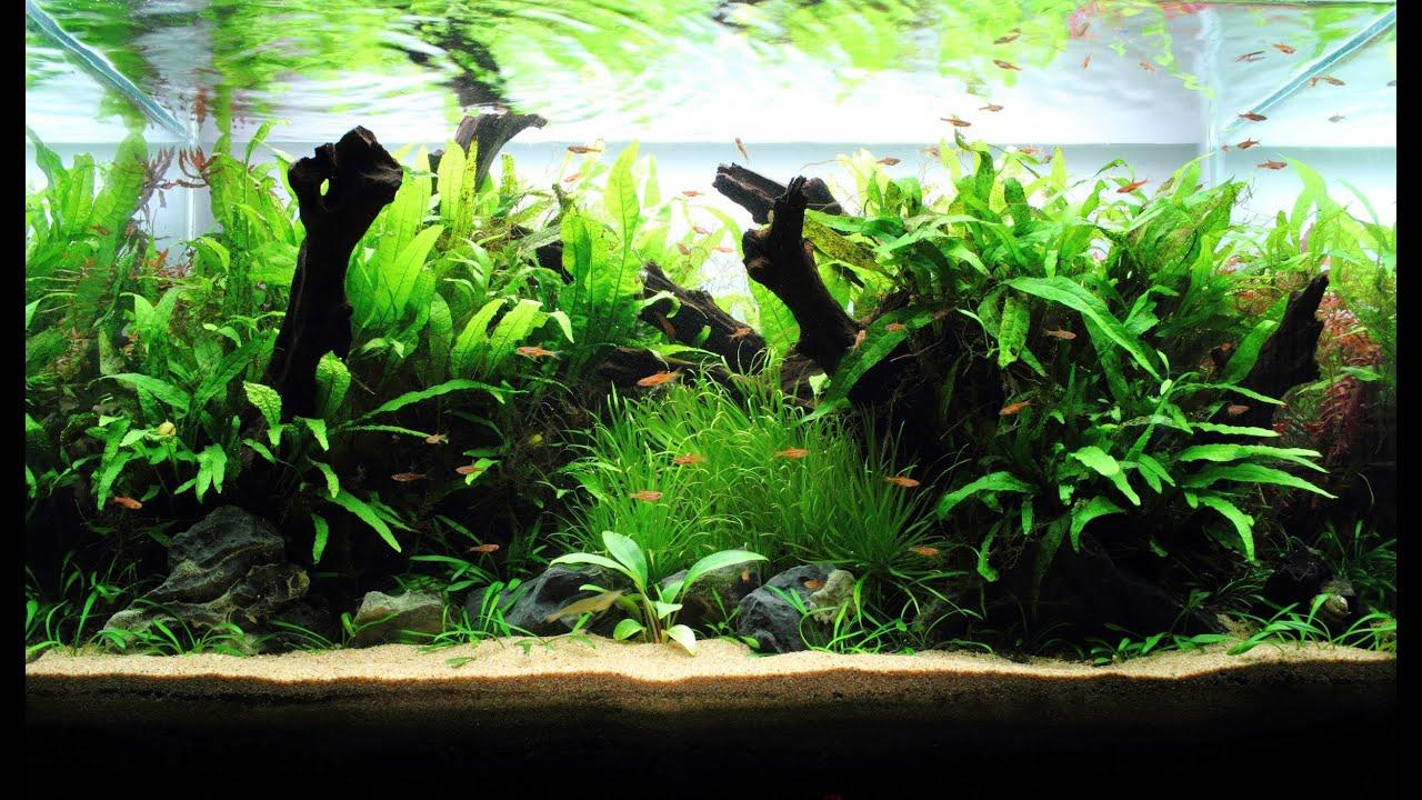 Freshwater Planted Aquarium Little Pixie | 小精灵 Youtube