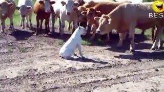Самые смешные приколы про животных 2016 года (смешные видио)