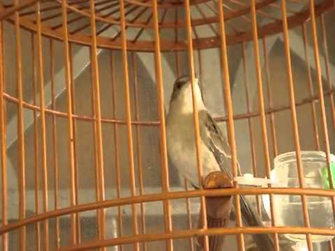 غناء طائر العندليب thumbnail