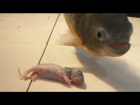Would reggie my piranha like a rat for dinner? ( reggies fin is growing back) warning graphic