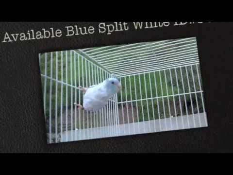 For Sale Parrotlets Blue Pied Parrotlet Los Angeles, California