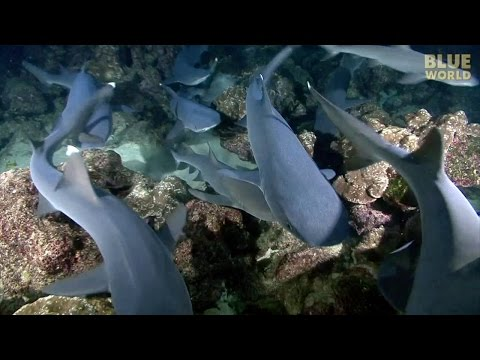 Night of the Hunting Sharks! | JONATHAN BIRD'S BLUE WORLD