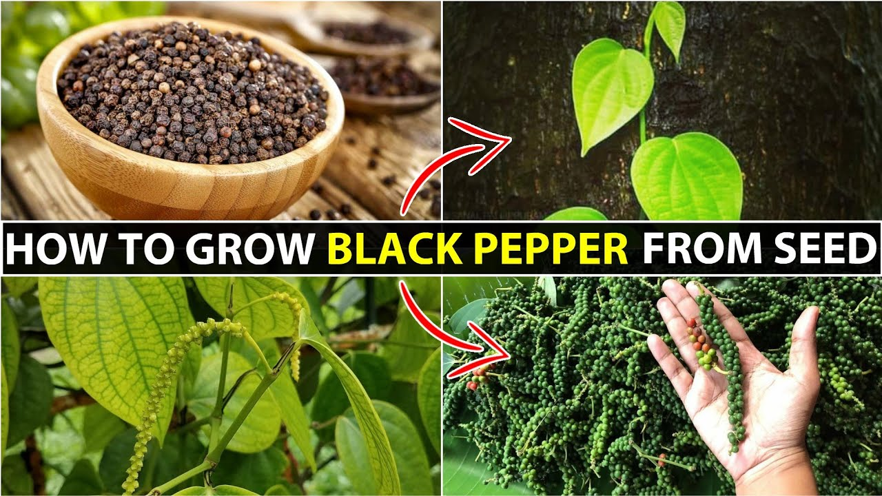 How To Grow Black Pepper   Kali Mirch Ka Podha Kaise Ugaye
