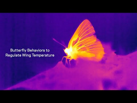 Beat the Heat in the Living Wings of Butterflies