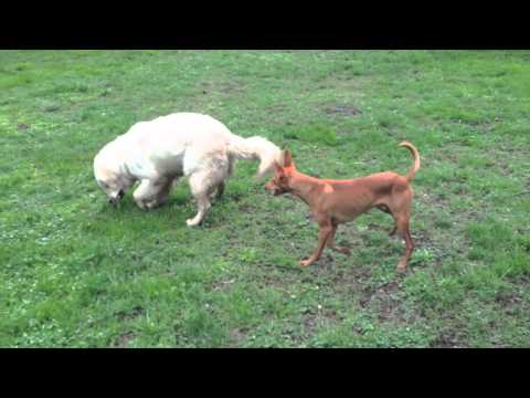 Cirneco dell'Etna (Cheope) VS Golden Retriever (Brando)