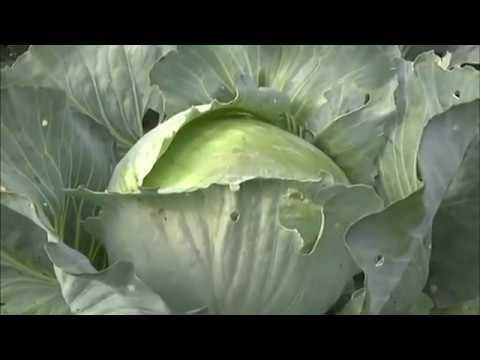 Какие сорта капусты стоит выбирать и правильно хранить | земледелие | хозяйство | сельдерей | хранение | сельское | растения | корневой | капусты | капуста | фермер