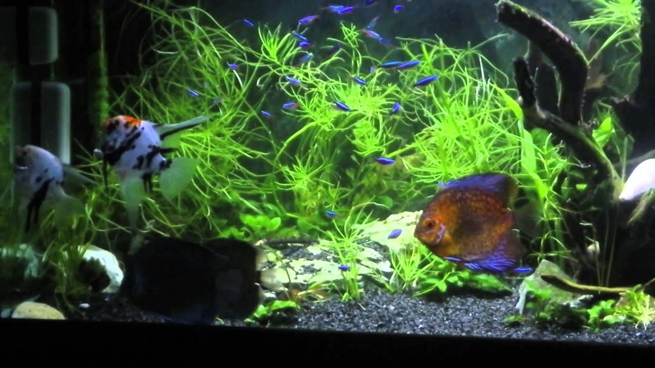 acquario discus scalari 2013 youtube