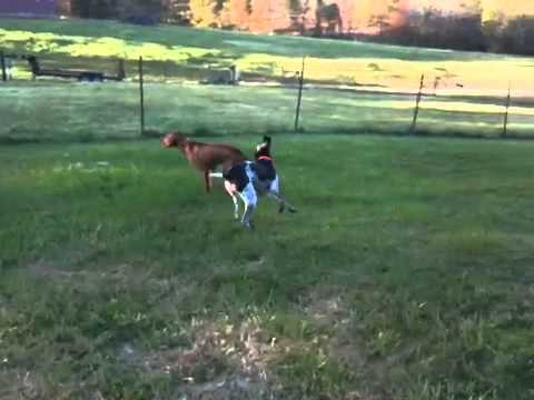 Hobie and Bud playing on the farm