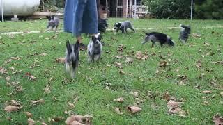 Blue Heeler Puppies For Sale Steven Stoltzfus 9