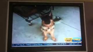 Dunder On Good Morning America - German Shepherd