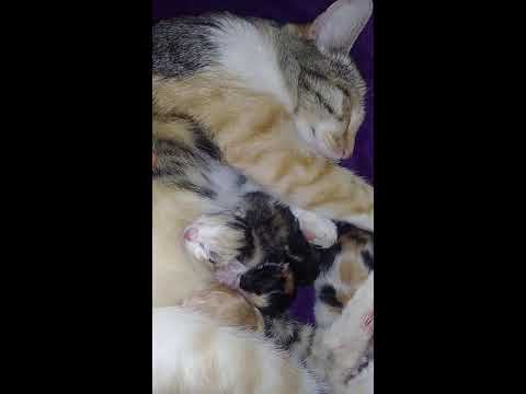 Pregnant Cat Gives Birth 5 Kittens  / Mom Cat Is Exausted And Needs A Massage