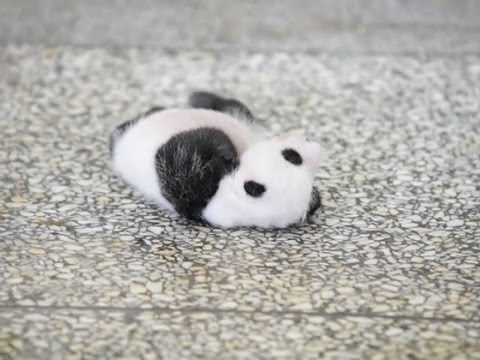 Panda Cub Suffers From Weekend Syndrom!