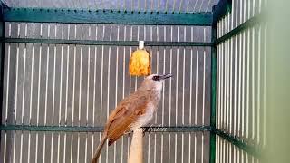 Download Mp3 Suara Pancingan Trucukan Agar Ikut Bunyi Dan Ropel.