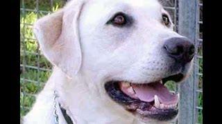 Labrador Retriever (training) + 5 'bonus' Articles!