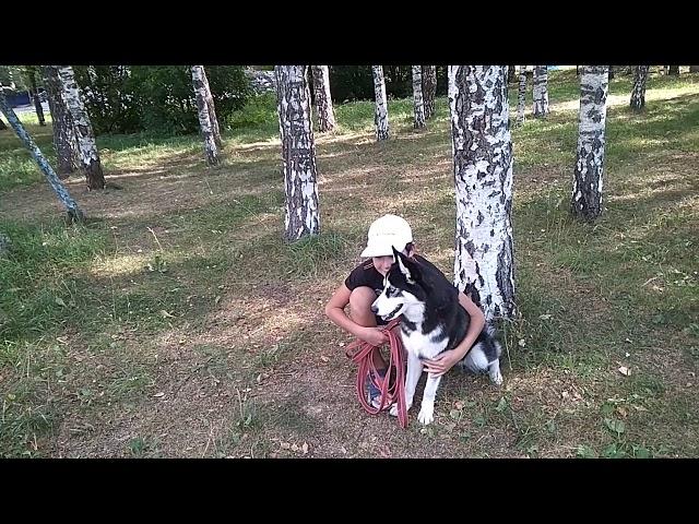Видеоотзыв-дрессировка собак Хаски Белла 7 мес.Дрессировщик -Максим