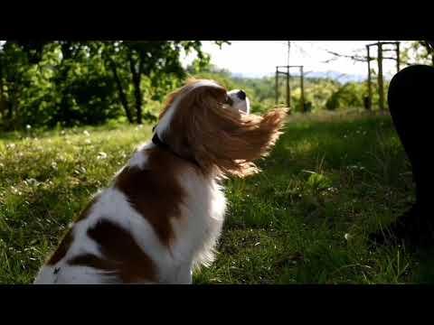 40 dog tricks by Molly ~ Cavalier King Charles spaniel